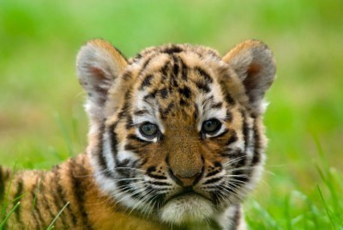 Image result for images of tiger cubs